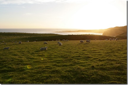 Slope Point sheep padock at sunset