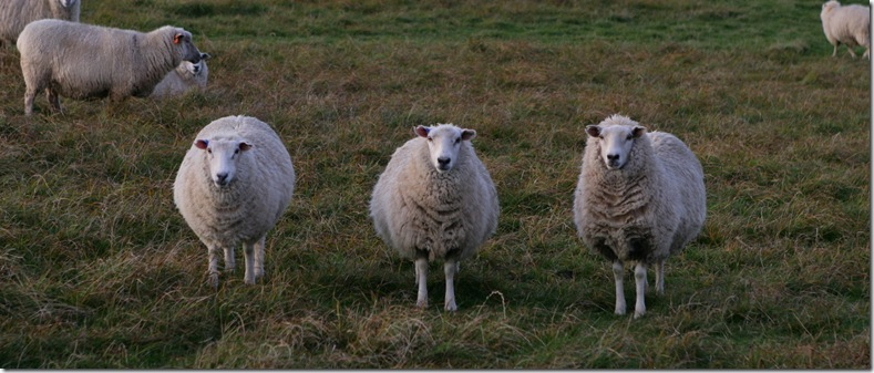 Three curious sheep